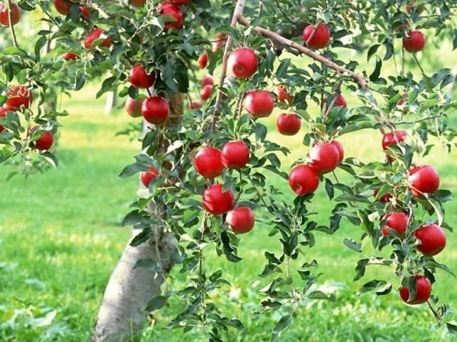 Красная яблоня