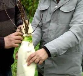 Как подготовить саженцы плодовых деревьев к зиме